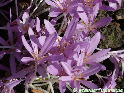 Image Colchicum autumnale