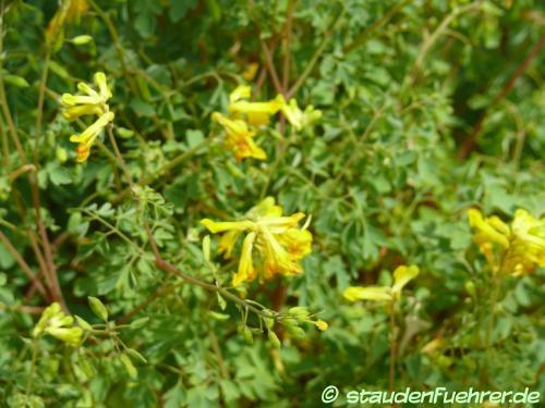 Bild Corydalis lutea