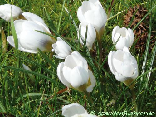 Bild Crocus chrysanthus 'Ard Schenk'