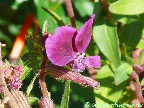 Bild Cuphea lanceolata