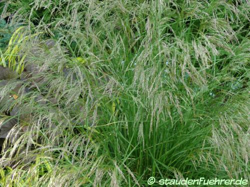 Bild Deschampsia cespitosa