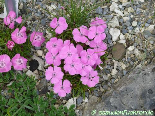 Bild Dianthus alpinus