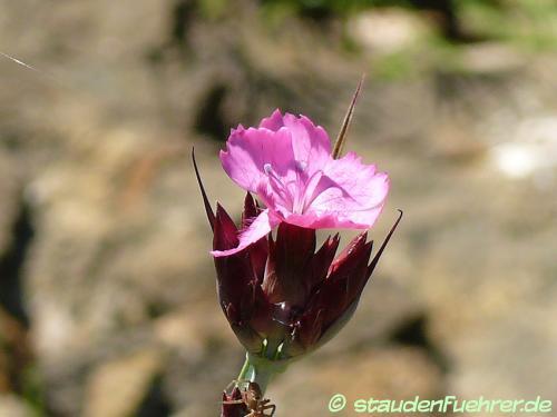 Bild Dianthus carthusianorum