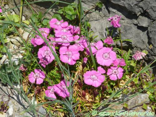 Bild Dianthus glacialis