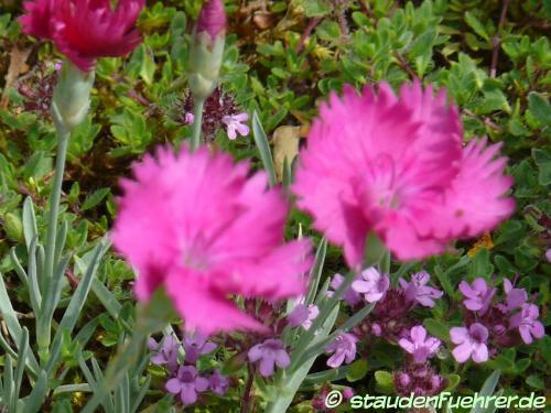 Bild Dianthus gratianopolitanus 'Neon Star'
