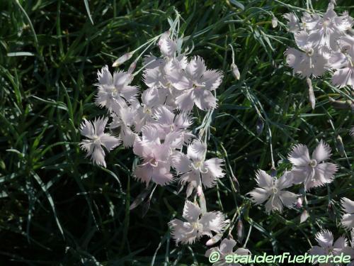 Image Dianthus pulmonarius ssp. lumnitzeri