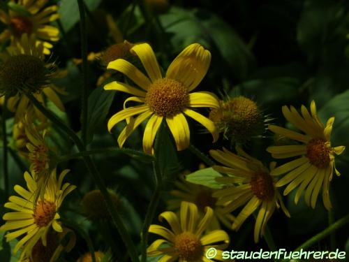 Image Doronicum austriacum