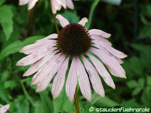 Bild Echinacea purpurea