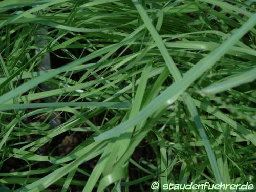 Image Eragrostis trichodes