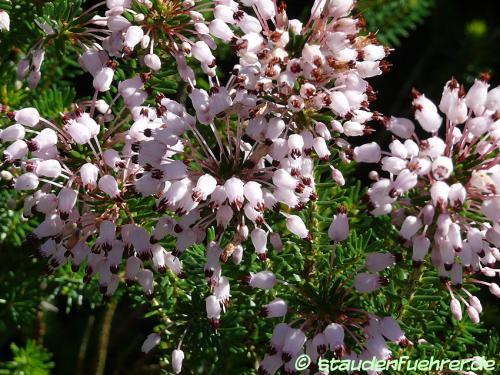 Image Erica australis