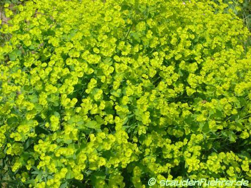 Bild Euphorbia characias ssp wulfenii