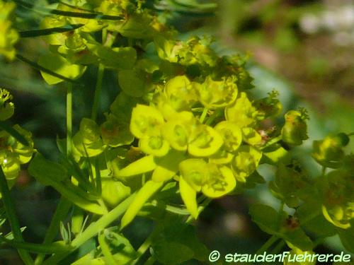 Bild Euphorbia cyparissias