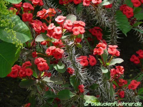 Image Euphorbia splendens