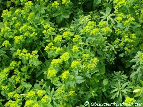 Image Euphorbia verrucosa