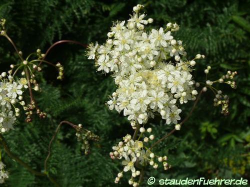 Image Filipendula vulgaris