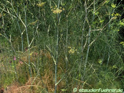 Image Foeniculum vulgare