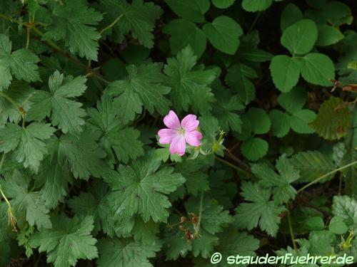Bild Geranium endressii