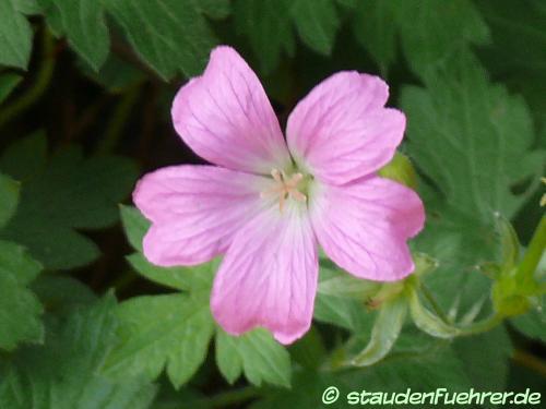 Image Geranium endressii