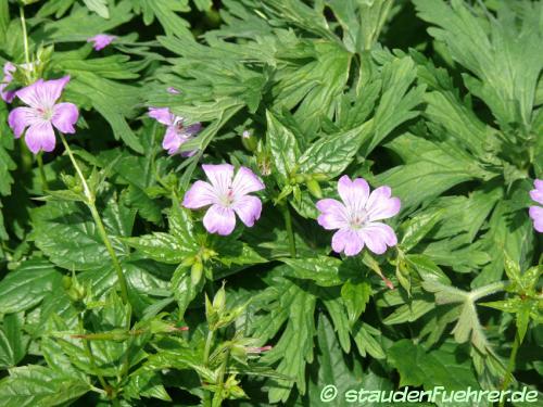 Bild Geranium nodosum