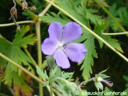 Bild Geranium pratense