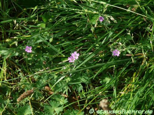Bild Geranium pyrenaicum