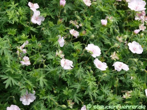 Bild Geranium sanguineum 'Lancastriense'