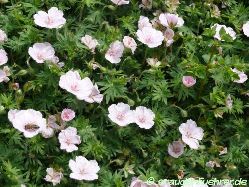 Image Geranium sanguineum 'Lancastriense'