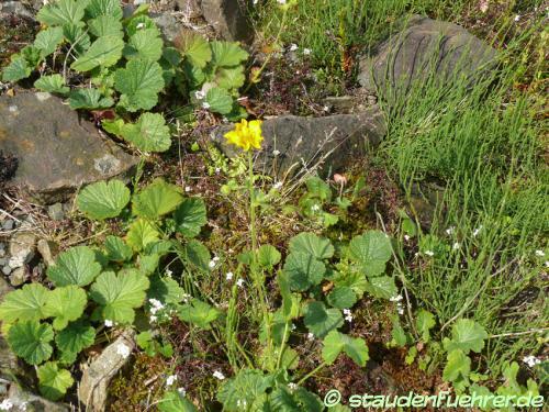 Bild Geum pyrenaicum