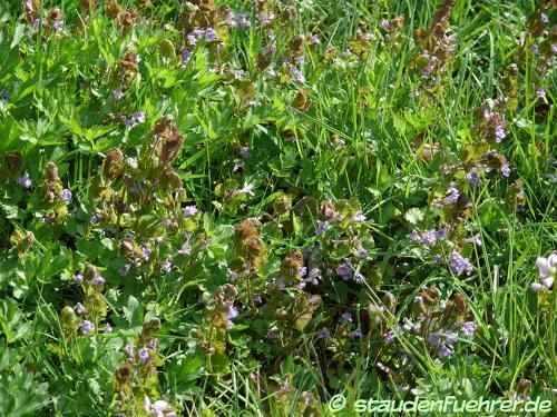 Bild Glechoma hederacea