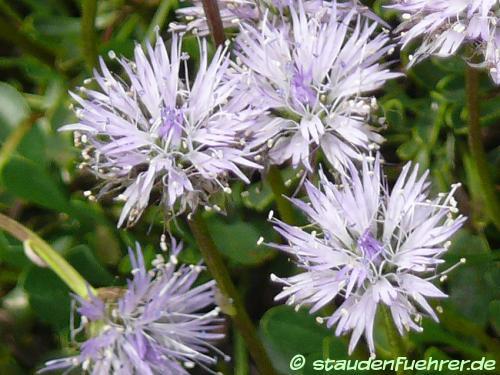 Bild Globularia cordifolia