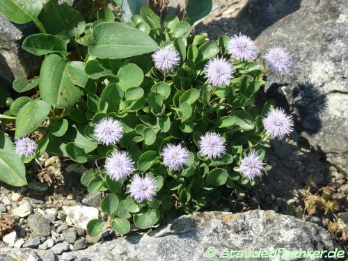 Bild Globularia incanescens