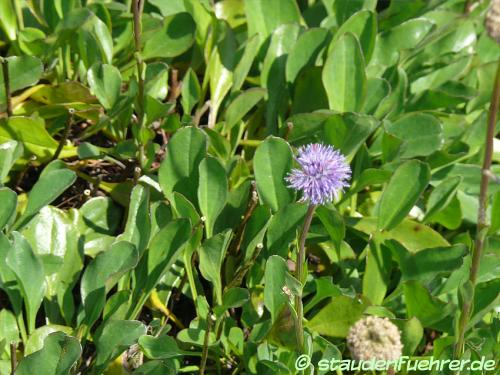 Image Globularia punctata