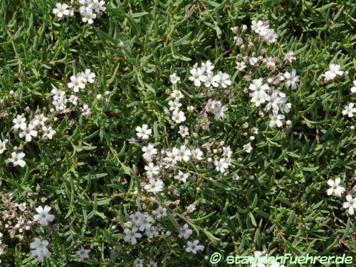 Image Gypsophila repens