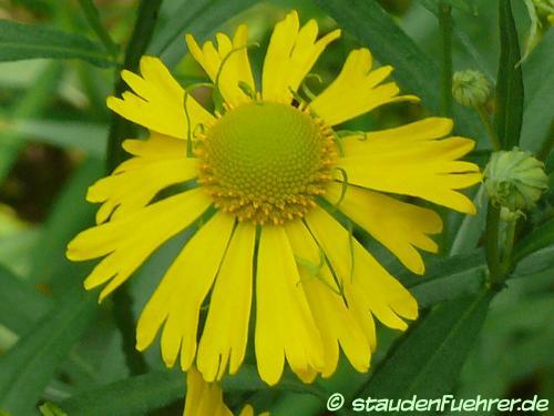 Bild Helenium autumnale