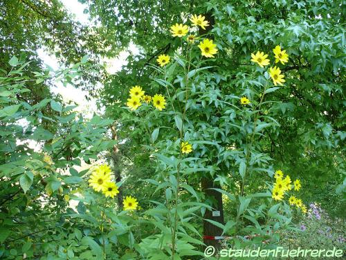 Bild Helianthus grosseserratus