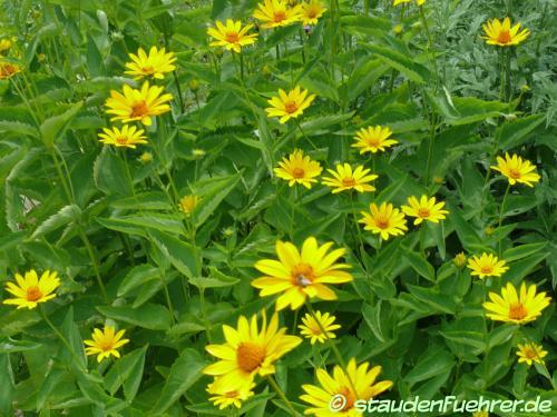 Bild Heliopsis helianthoides