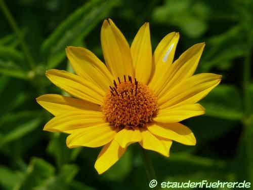 Image Heliopsis helianthoides