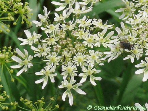 Image Heracleum sphondylium