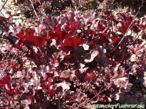 Image Heuchera 'Berry Marmalade'