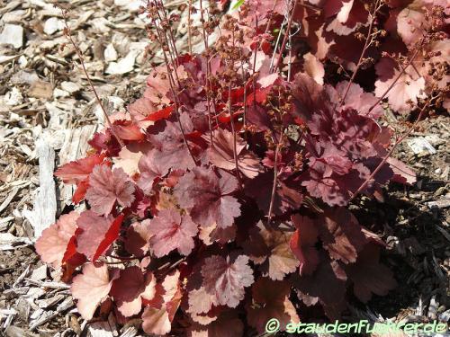 Bild Heuchera micrantha 'Cherry Cola'