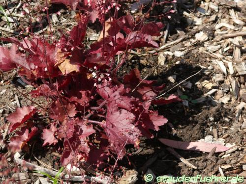 Bild Heuchera micrantha 'Fire Chief'
