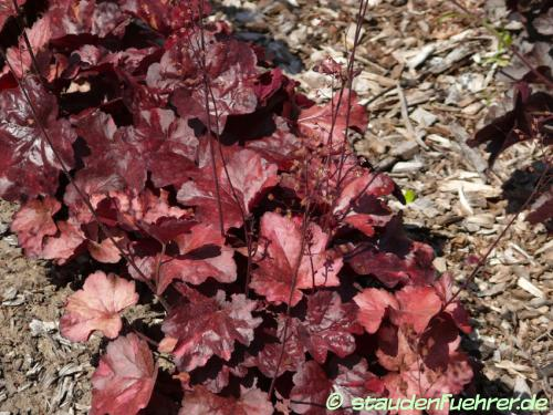 Bild Heuchera 'Galaxy'