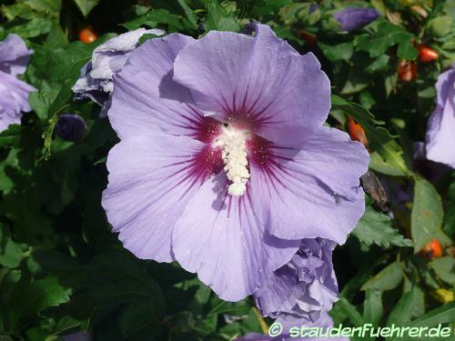 Bild Hibiscus syriacus 'Blue Bird'