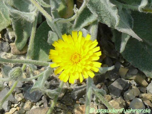 Bild Hieracium villosum