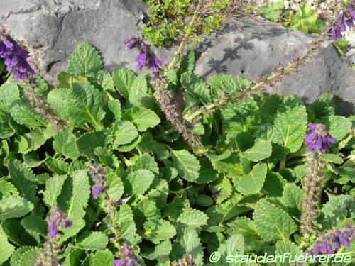 Image Horminum pyrenaicum