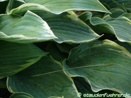 Bild Hosta 'Gay Blade'