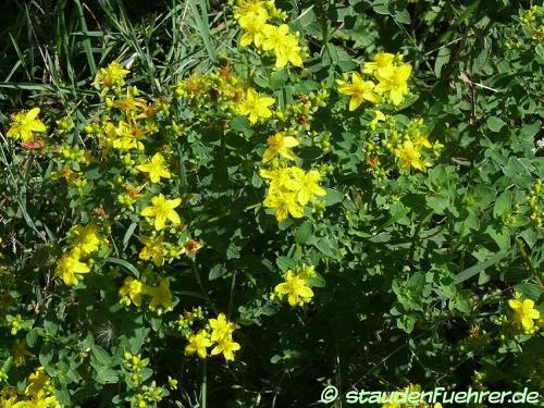 Bild Hypericum maculatum