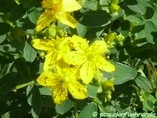 Image Hypericum maculatum