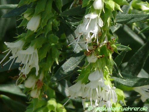 Image Hyssopus officinalis 'Albus'