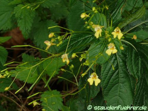 Image Impatiens parviflora